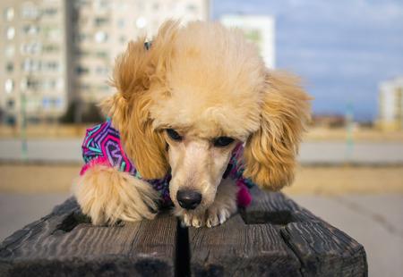 Cachorro Caniche JugueteColor De MelocotónMirando 0OP8nwkX