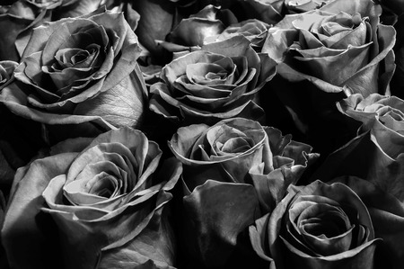 rosas negras: dark black  roses close-up. festive bouquet. background. Foto de archivo