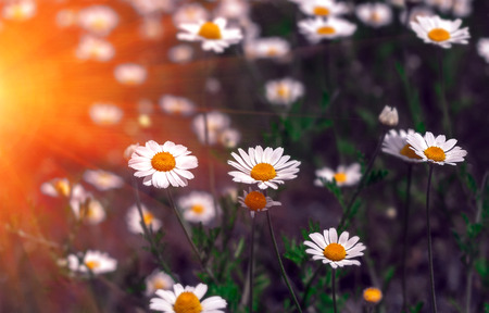 wild flowers, daisy in the summer sunset. summer field camomiles.