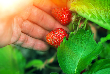 disrupt: ripe berry strawberry in the garden on the palm in the sunset