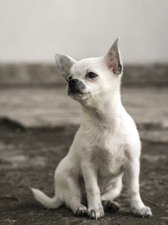 lapdog: Chihuahua puppy sitting looking to the side