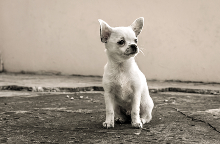 lapdog: white puppy chihuahua sits looking into the distance