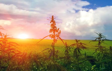 veld met cannabis op een achtergrond van de hemel met wolken. marihuanastruik bij zonsondergang
