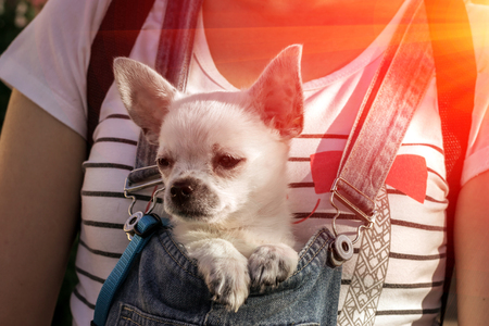 funny puppy chihuahua in the bosom of the girl at sunset