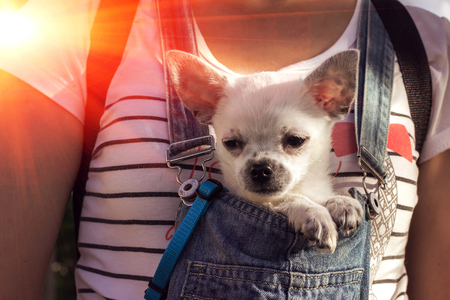 funny puppy in the bosom of the girl at sunset