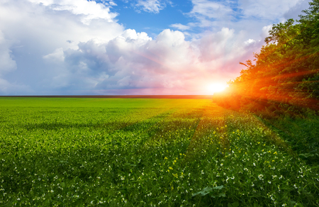 field flowering grass and grove of trees on a background of beautiful clouds at sunrise