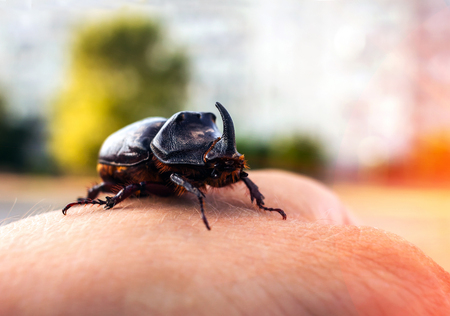 huge beetle with a horn on his hand at sunset, close-up