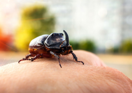 oryctes: rhinoceros beetle giant on a mans hand at sunset