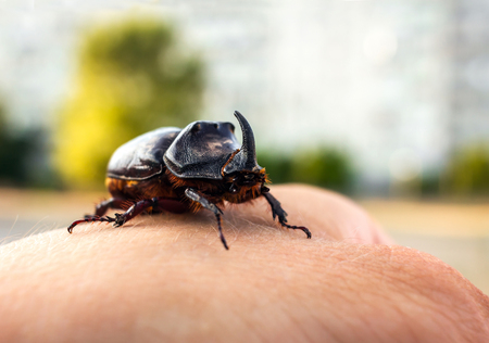 rhinoceros beetle giant on a mans hand Stock Photo