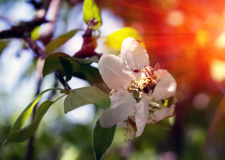 pollinate: bee on a flower collects honey apple tree at sunset,  pollinate apple blossom
