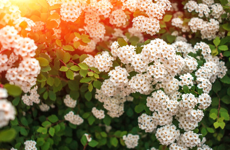 wild white flower bushes in the  blurred background