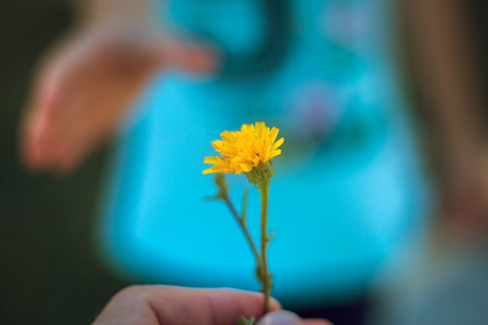 Hand gives a wild flower with love. romance.