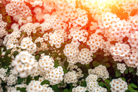 asteraceae: wild white flower bushes in the  blurred background