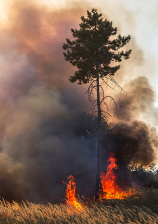 Forest fire. a huge pine tree in fire