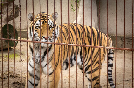 huge Siberian tiger look across the cage close-up