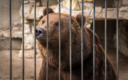 big grizzly bear watching through the lattice Stock Photo