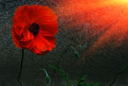 wild poppy flower in the sun. a symbol of remembrance. Stock Photo