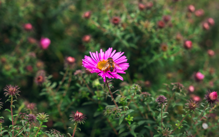 insect  bee pollinates a beautiful pink flower in the summer Stock Photo