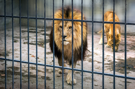 mane: adult lion with a mane in a cage. close-up predator.
