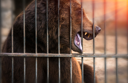 grin of a large grizzly bear, dangerous predator at sunset. Stock Photo
