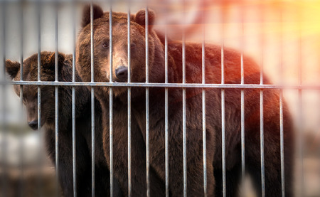 female and a large male bear behind bars play at sunset
