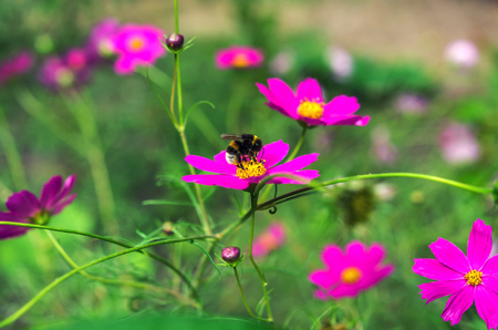 insect bumble bee pollinates a beautiful  flower Stock Photo
