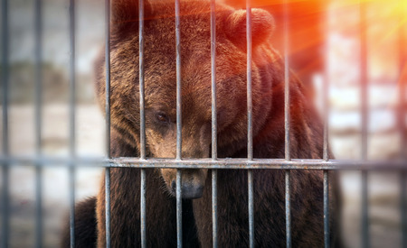big grizzly bear watching through the lattice at sunset