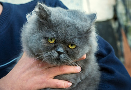 grey eyed: British Fold cat in the hands of the owner.