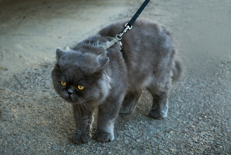 grey eyed: British Fold cat walks on a leash on the street.