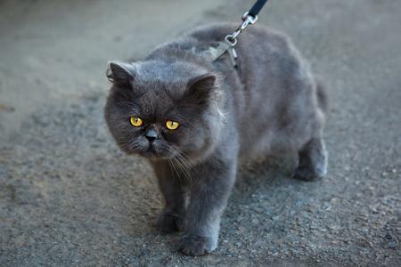 keep an eye on: British Fold cat walks on a leash in the city.