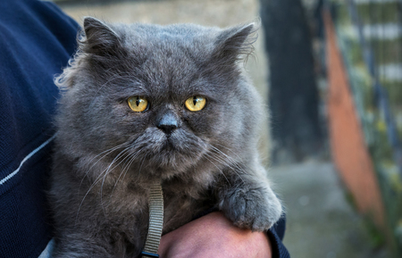grey eyed: British Fold cat in the hands of the host looks. Stock Photo