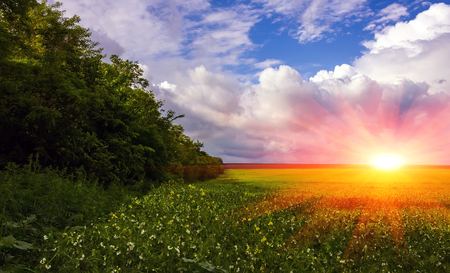 field flowering grass and grove of trees on a background of beautiful clouds