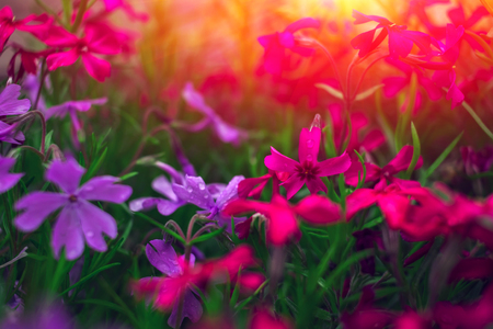 Beautiful flower background at sunset. Great spring background, blooming wild flowers.
