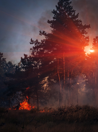 prescribed: fire. wildfire, burning pine forest in the smoke and flames at sunset.