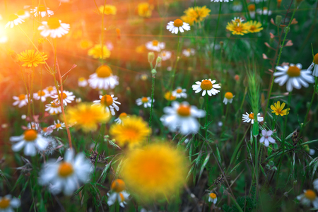 daybreak: Floral background. Summer background with wild daisies in the field at sunset.