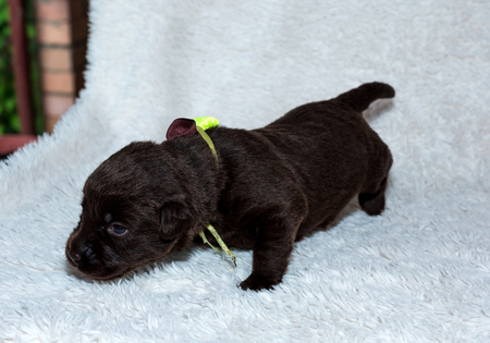 Cute puppy, labrador brown color on a furry background. pet, dog. Stock Photo