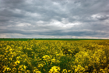 Canola field, landscape on a background of clouds. Canola biofuel, organic.