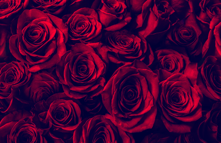 Natural red roses background. greeting card with a luxury roses Stock Photo - 87972412
