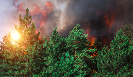 burning pine forest in the smoke and flames.