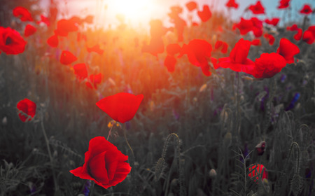 Wild Poppy Flower At Sunset Symbol Of Remembrance Stock Photo