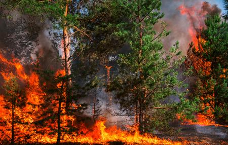 ogień. pożar, płonący las sosnowy w dymie i płomieniach.