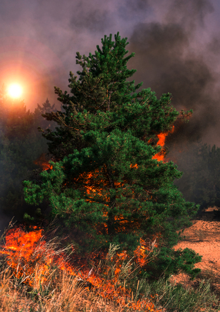 Fire. wildfire at sunset, burning pine forest in the smoke and flames. Stock Photo