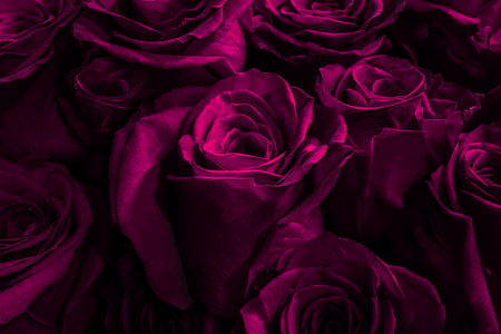 lilac, purple roses isolated on a black background. Greeting card with roses Stockfoto - 105066651