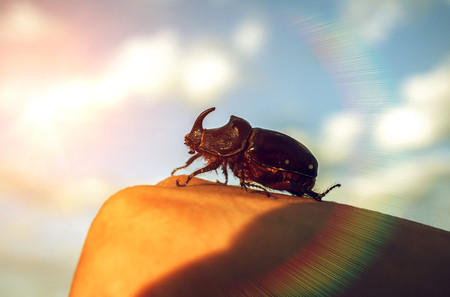 A giant rhino beetle with horn close-up, at sunset.