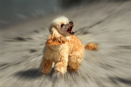 An angry barking dog on a blurred background.