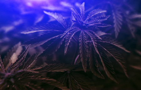 Marijuana leaves on blurred background