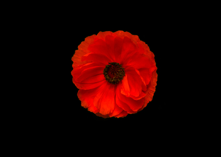 wild poppy flower close-up. a symbol of remembrance.
