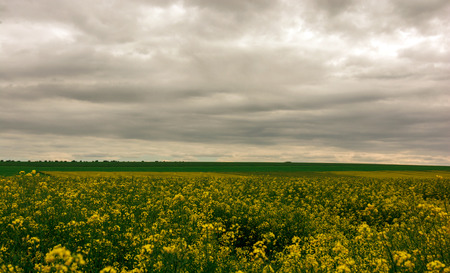 Canola field, landscape on a background of clouds. Canola biofuel, organic.