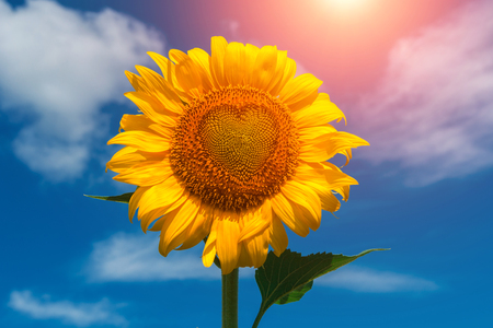 sunflower summer flower  with heart at sunset. agroculture, harvest. Фото со стока