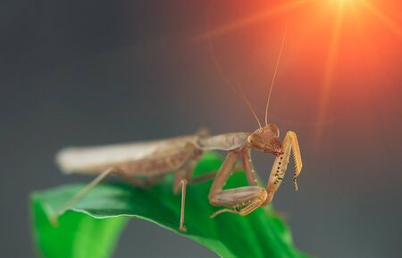 Insect hunter attacks at sunset. Mantis is a terrible monster of wildlife. Mantis in attack. 写真素材